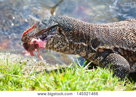 Huge Monitor lizard in the water feed on with tuna fish - Hikkaduwa, Sri Lanka