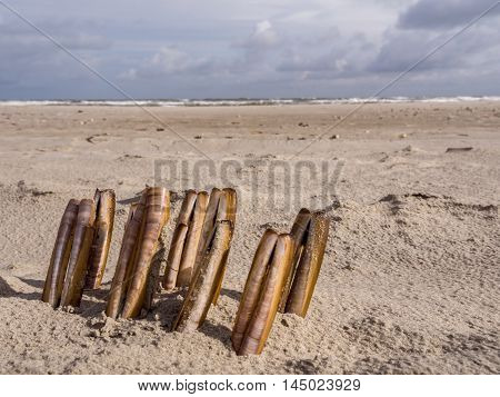 Composition of razor clams washed upon the shore along the North Sea