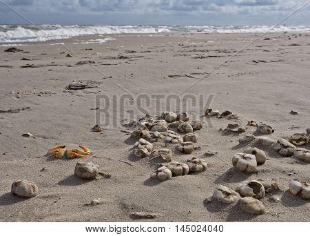 Heart shaped sea urchin shells and a crab on the shore of Dutch North Sea coastline