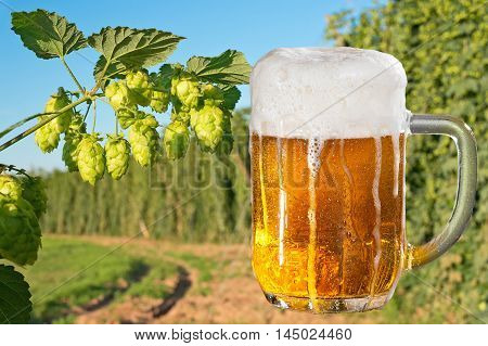 beer glass and hop field before the harvest