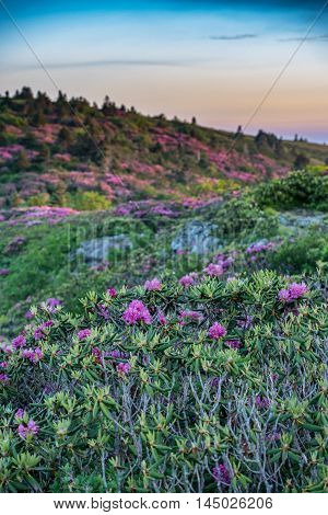 Rhododendron on Grassy Ridge Vertical during the June bloom
