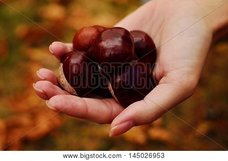 A handfull of chestnuts in the hand