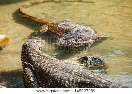 Cuple of huge Monitor lizards in the water - Hikkaduwa, Sri Lanka