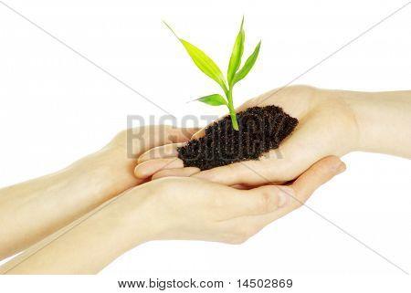 Hands holding sapling in soil  on white