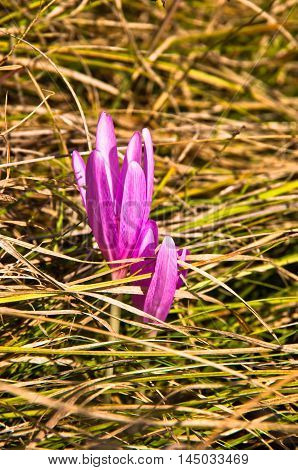 Small purple flower at early spring in west Serbia