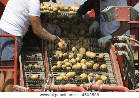 Some men select good potatoes from scrap during the harvesting