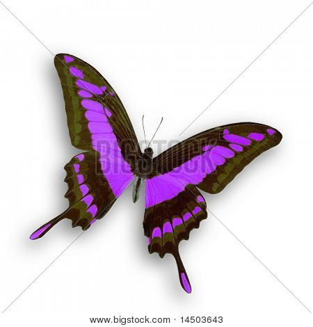 A wonderful isolated purple butterfly fly with open wings