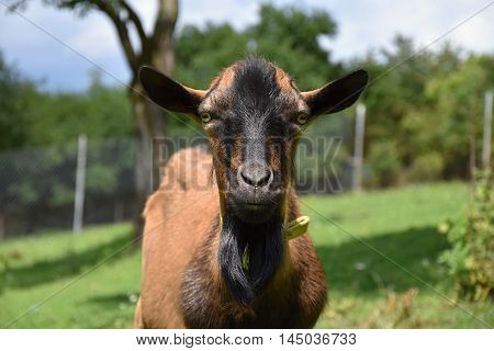 Brown goat on pasture detail head. Goat on the meadow.
