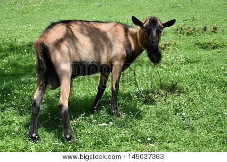 Brown goat on the meadow. Goat on pasture.