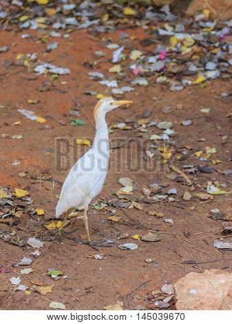 Bubulcus Ibis Walks Near The Edge Of Pond