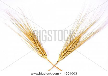 Isolated Golden wheat ear after the harvest