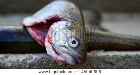 picture of a lake fish prepared for grill