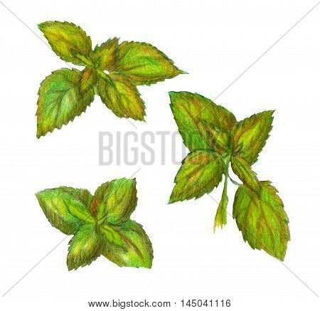 Raster realistic image of nettle leaves isolated on white. Element for herbal production meds thematic ads decoration of different printed production books magazines.