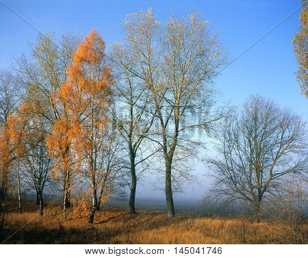 Sunlit golden birch and naked trees in foreground. Field covered with mist in background.