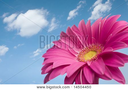 Violet Daisy gerber looking at the sky in a wonderful sunny day in spring. Beautiful flower! Space for text