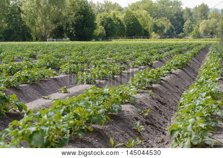 large vegetable plantation with potatoes - agriculture