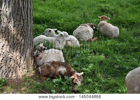 Herd cute lamb.  Sheep on pasture. Lamb.