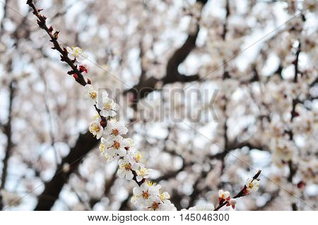 apricot tree branch in the spring lanscape