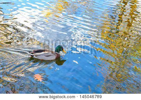 Mallard duck on the Constitution Gardens lake. Washington DC, USA.