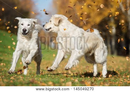 two golden retriever dogs playing with fallen leaves outdoors