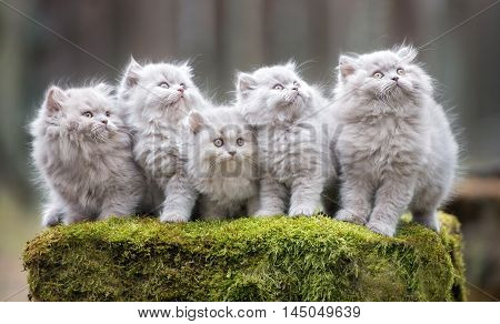 group of grey fluffy kittens posing outdoors