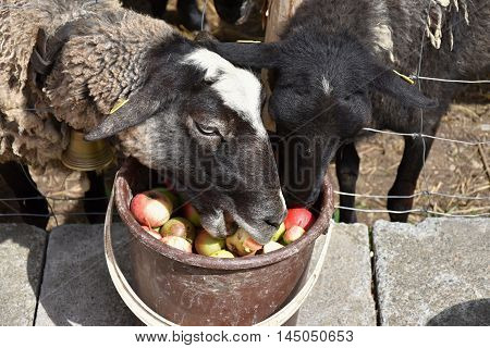 Sheep eat apples from the bucket. Sheep