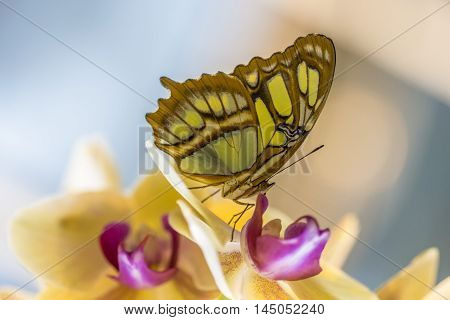 Tropical Malachite Butterfly Wildlife Orchidaceae Flower Impression Exotic