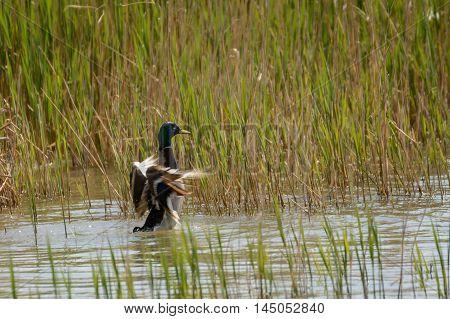 beautiful wild duck flies off the water