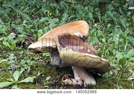 porcini mushrooms, grown in the woods in the middle of the moss.