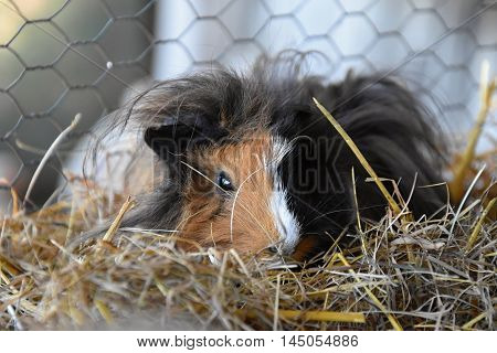 Spotted longhair guinea pig in a pen