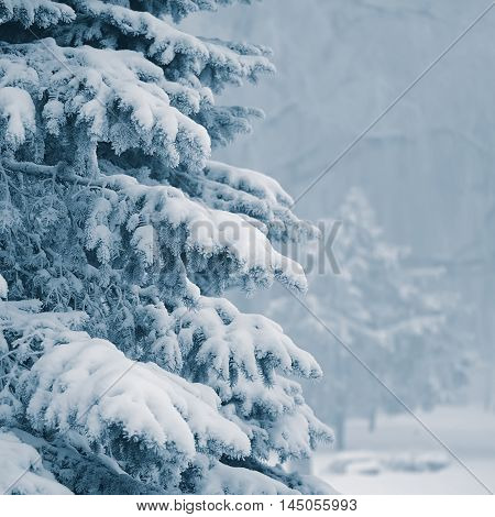 Spruce branches in the snow on a background of trees in winter park