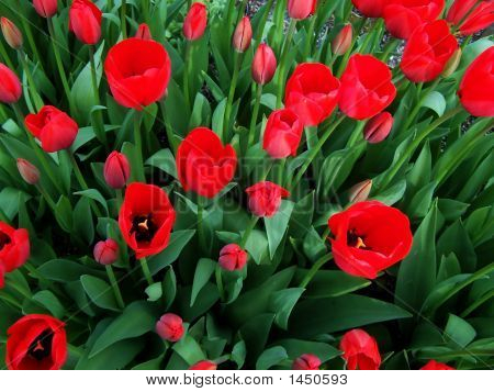 Cheerful Red Tulips