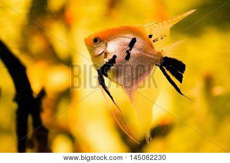 Freshwater Angelfish Pterophyllum scalare, horizontal image, color image