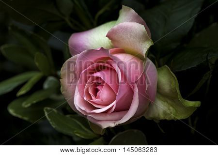 Rose Flower Garden Pastel Nostalgia Love Impression