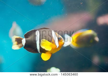 Yellowtail clownfish Amphiprion clarkii, horizontal image, color image