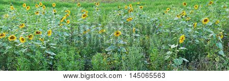 Sunflowers Plant Landscape Blossom Panorama View