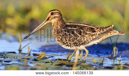 snipe among aquatic vegetation, sandpiper, trophy hunting, wildlife waterbirds