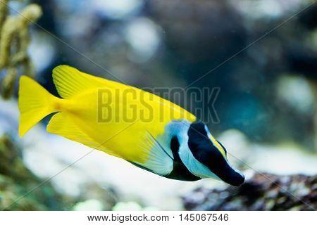 Foxface rabbitfish, horizontal image, color image, close up