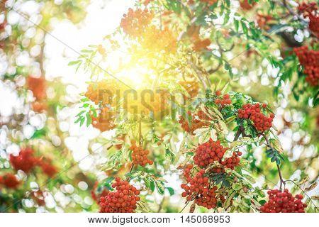 rowan-tree with rowanberry and sunrise