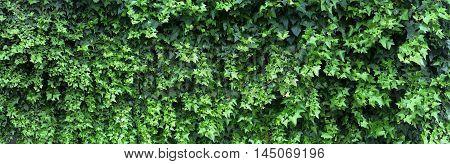 Fresh Grass Vine Wall Fence Panorama
