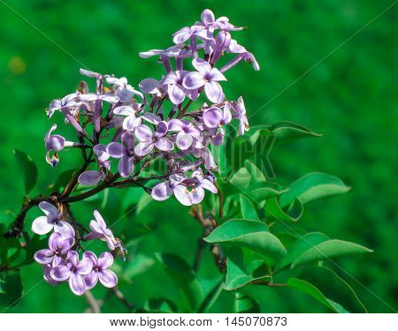 The flower with lovely scent. The flower with awesome color. Lilac.