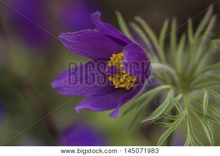 Pulsatilla Easter Flower Garden Blossom Floral Impression Spring