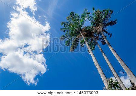 3 coqueiros em um dia de sol e céu azul