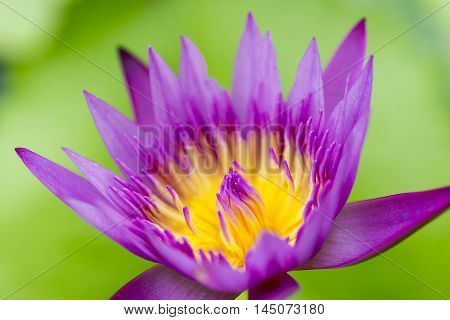 close up of the purple lotus flower in the pond