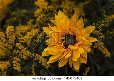 Sunflower Flower Garden Autumn Blossom Floral Impression