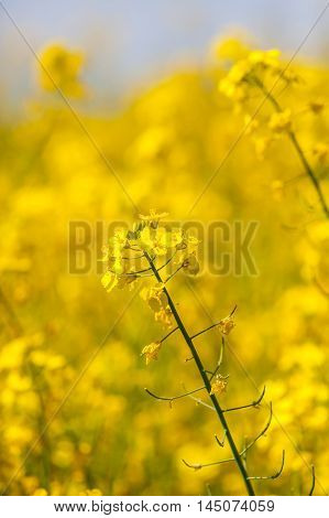 Flowering yellow oilseed rapeseed as background, close-up
