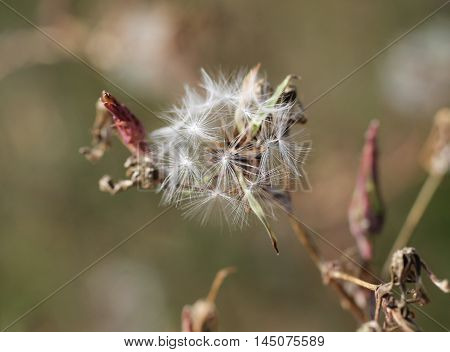 close photo of sear hawkweed with white fluff