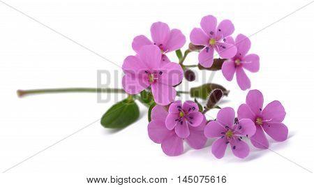 Common Soapwort (saponaria Officinalis)