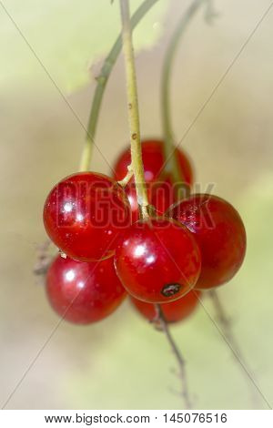 a cluster of red currant berries on shrub