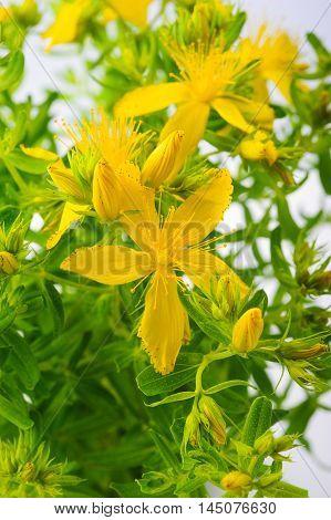 St. John's wort (Hypericum perforatum) flowers and leaves